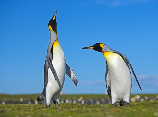 king penguin aptenodytes patagonicus males displaying in colony falkland islands : Stock Photo