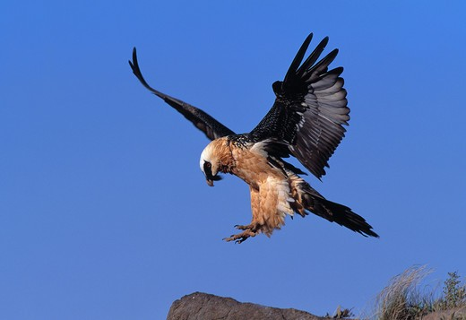 Stock Photo: 4141-22320 lammergeier in flight gypaetus barbatus drakensberg mountains, south africa