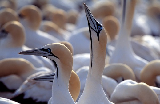 Stock Photo: 4141-22400 cape gannet sula capensis sky-pointing display western cape, south africa