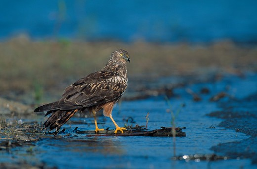 Stock Photo: 4141-22465 african marsh harrier circus ranivorus natal, south africa