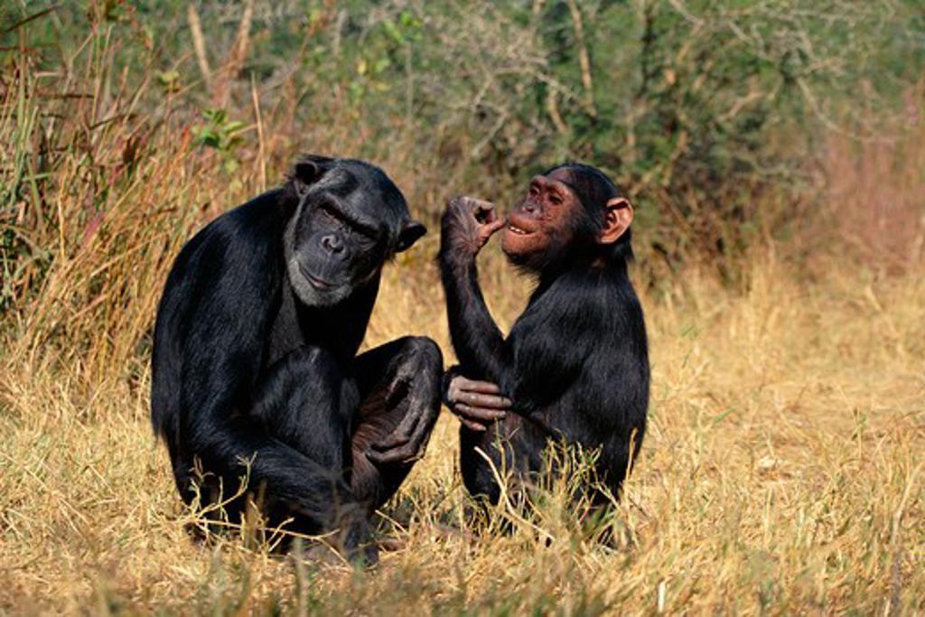 chimpanzees old female pan troglodytes & adolescent male zambia : Stock Photo
