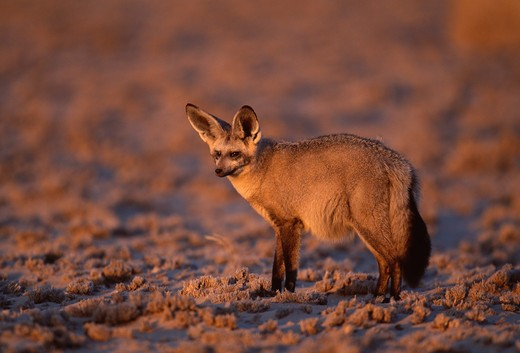 Stock Photo: 4141-22709 bat-eared fox otocyon megalotis kalahari, southern africa