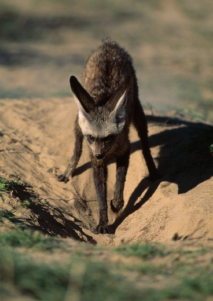 bat-eared fox digging burrow otocyon megalotis kalahari, southern africa  : Stock Photo