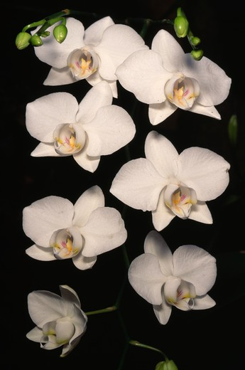 Stock Photo: 4141-2272 orchid flowers phalaenopsis aphrodite the philippines