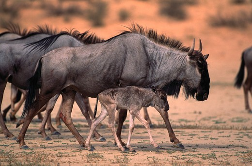 Stock Photo: 4141-22721 wildebeest or brindled gnu connochaetes taurinus with young kalahari, southern africa