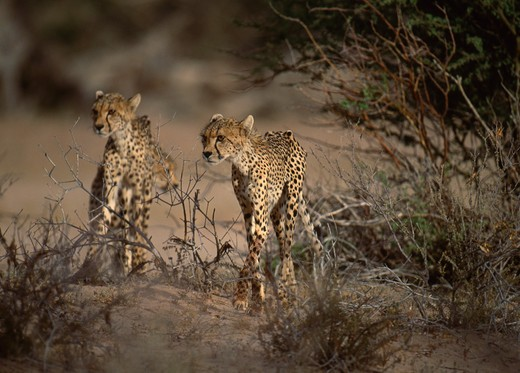 Stock Photo: 4141-22779 cheetah emaciated acinonyx jubatus with feline aids kalahari gemsbok national park, south africa