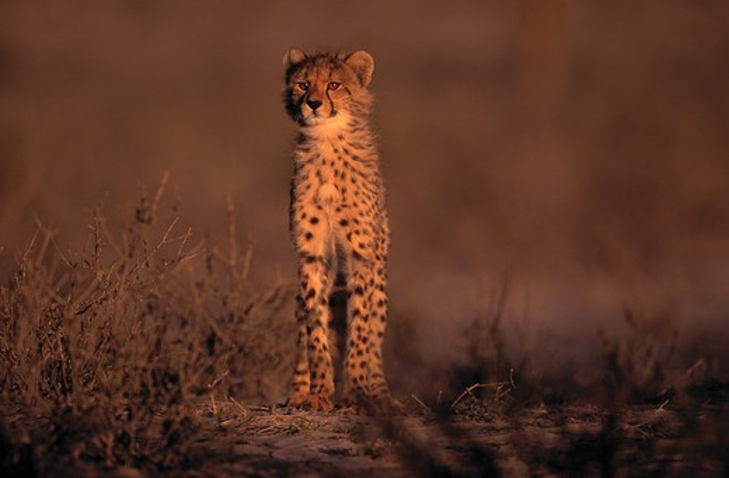 cheetah young acinonyx jubatus kalahari gemsbok np, south africa  : Stock Photo