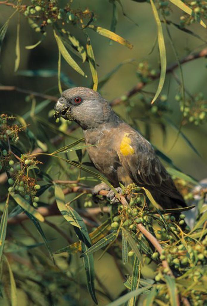 Stock Photo: 4141-22894 rueppell's parrot poicephalus rueppellii feeding on fruit, waterberg plateau namibia