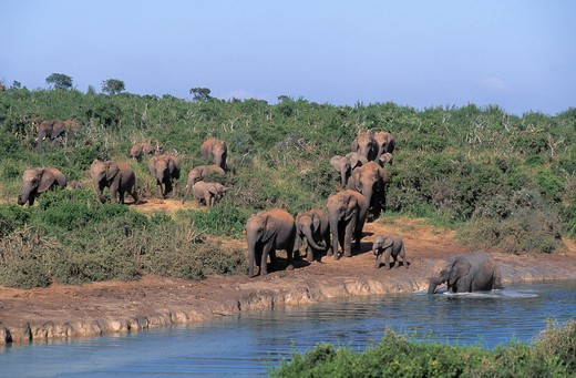 Stock Photo: 4141-22909 african elephant loxodonta africana herd at waterhole addo elephant national park, south africa
