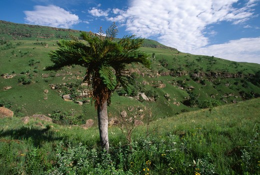 Stock Photo: 4141-22968 tree-fern drakensberg mntns, giant's castle nature reserve, kwazulu-natal, rsa