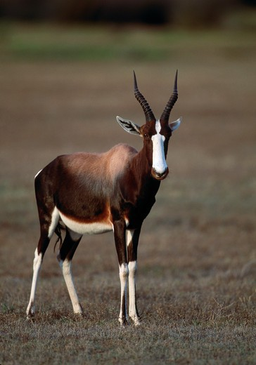 Stock Photo: 4141-22988 bontebok damaliscus dorcas dorcas de hoop nature reserve, southern cape, south africa