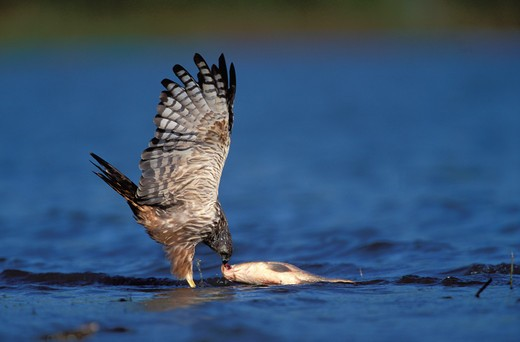 Stock Photo: 4141-23014 african marsh harrier circus ranivorus catching fish, kwazulu-natal, south africa