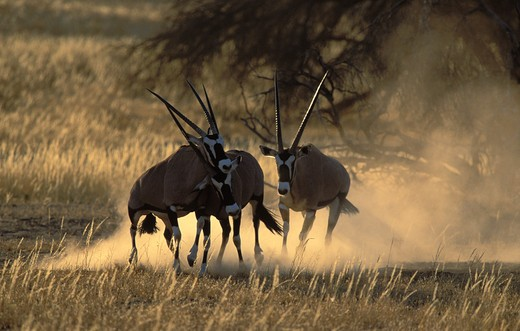 Stock Photo: 4141-23051 gemsbok oryx oryx gazella males fighting, kgalagadi transfrontier park, south africa