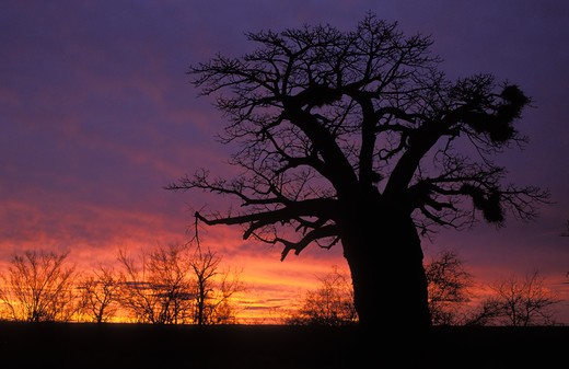 Stock Photo: 4141-23091 baobabs at sunset adansonia digitata kruger national park, south africa
