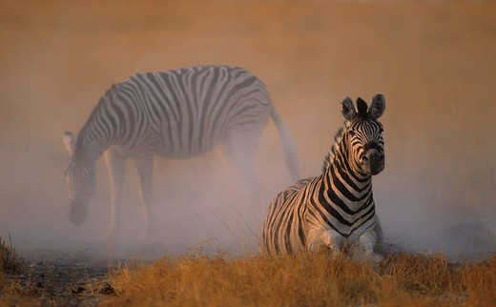 Stock Photo: 4141-23129 burchell's zebra dustbathing equus burchelli etosha national park, namibia