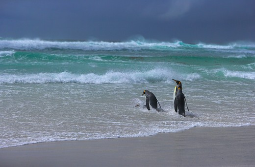 Stock Photo: 4141-233 king penguins aptenodytes patagonicus going hunting in stormy seas falkland islands