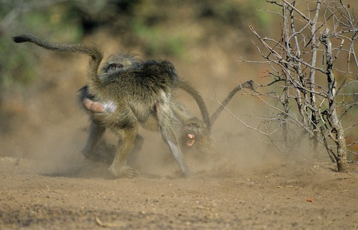 chacma baboon papio ursinus troop fighting kruger national park, south africa : Stock Photo