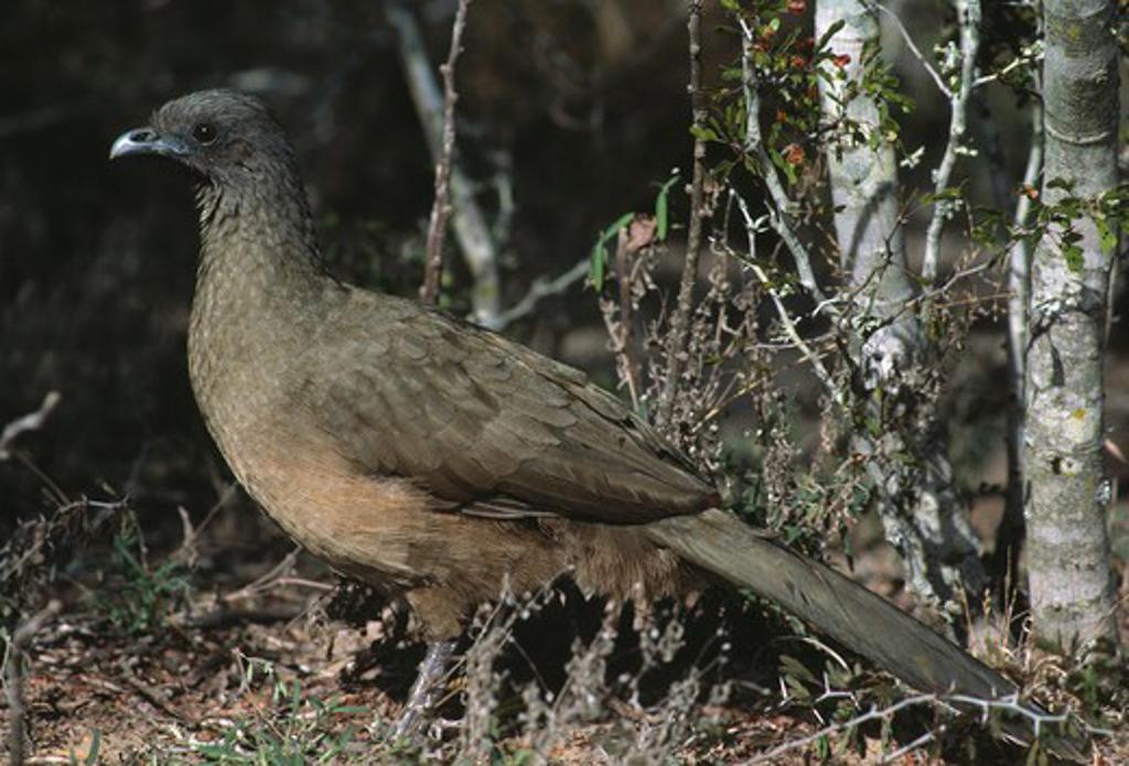 plain chachalaca ortalis vetula falcon state park, texas, usa  : Stock Photo