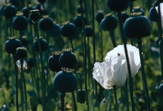 opium poppies seedheads papaver somniferum turkey  : Stock Photo
