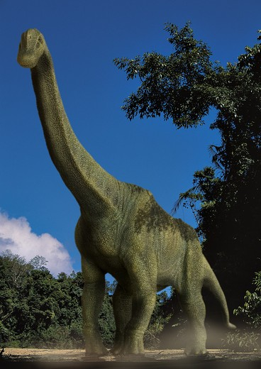 brachiosaurus altithorax a gigantic sauropod herbivorous dinosaur from the middle to late jurassic period, emerging from a forest in what is today north america. : Stock Photo