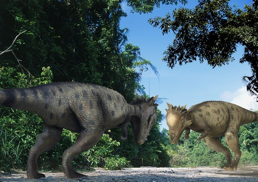 pachycephalosaurus wyomingensis two dueling adult males, thick-skulled herbivorous ornitischian dinosaurs from the late cretaceous period in what is today the state of wyoming in the usa. : Stock Photo