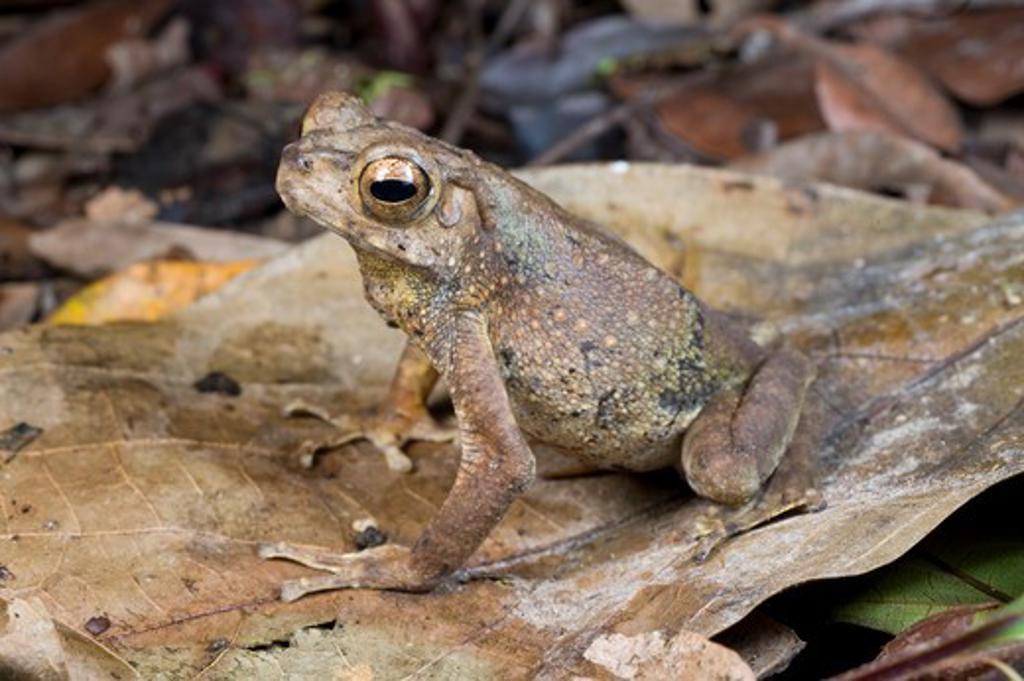 giant river toad (bufo juxasper) in leaf litter. danum valley, sabah, borneo. : Stock Photo