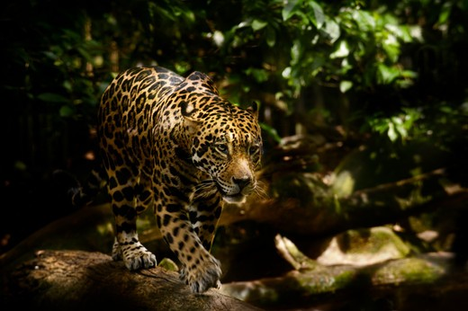 Stock Photo: 4141-23820 male jaguar (panthera onca) walking in forest. from central & south america. captive, singapore zoo. (digitally modified).