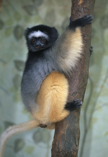 diademed lemur propithecus diadema undescribed sub-species from north of tsinjoariva eastern madagascar : Stock Photo