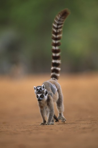 ring-tailed lemur female & baby lemur catta berenty reserve south madagascar : Stock Photo