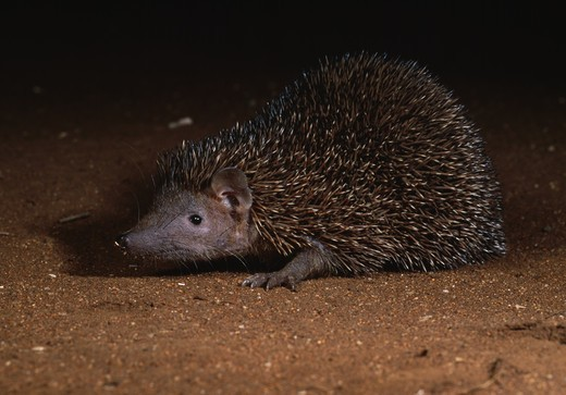 lesser hedgehog tenrec at night echinops telfairi andohahela national park southern madagascar : Stock Photo