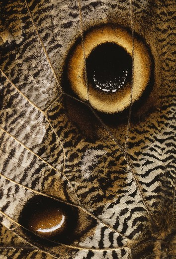owl-eye butterfly close-up of wing caligo eurilochus cloudforest near mindo ecuador : Stock Photo
