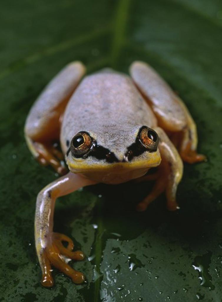 madagascar reed frog on leaf heterixalus madagascariensis masoala national park madagascar : Stock Photo