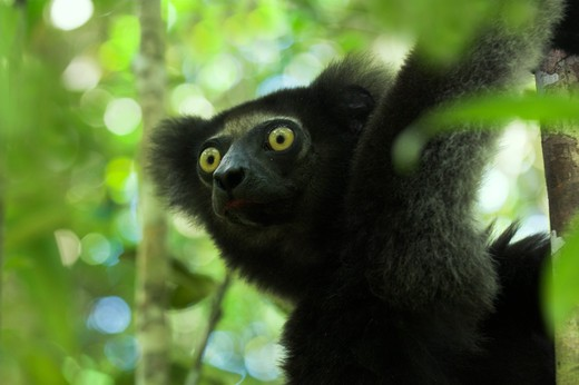 Stock Photo: 4141-24662 indri indri indri in forest canopy. mantadia national park madagascar.