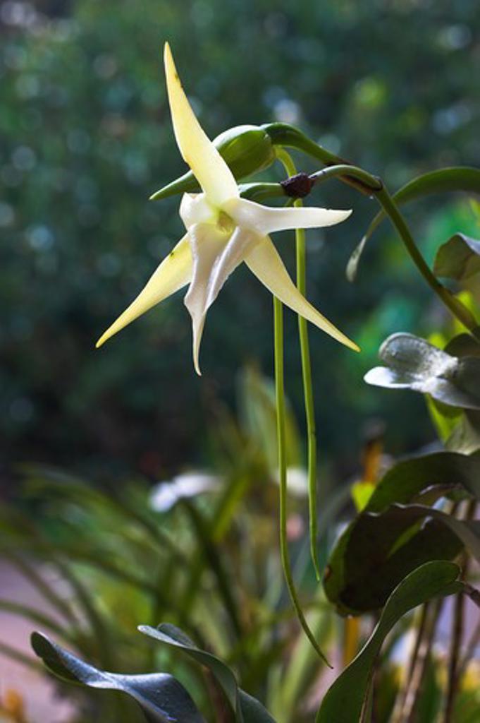 giant comet orchid angraecum sesquipedale madagascar. : Stock Photo