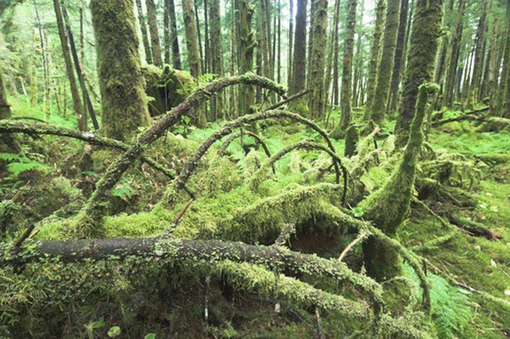 great bear rainforest with mixed cedar hemlock & spruce princess royal isand british columbia canada. : Stock Photo