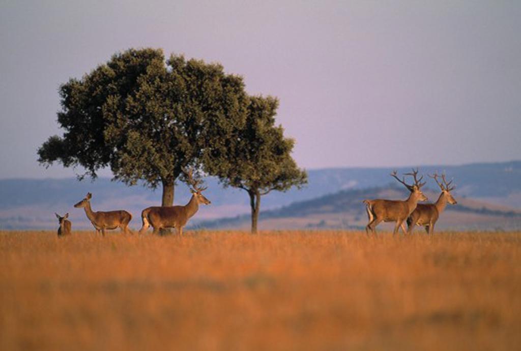 Stock Photo: 4141-24989 red deer group cervus elaphus spain