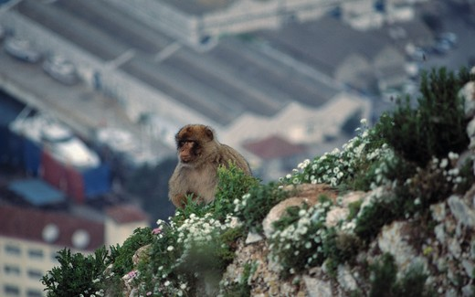 barbary macaque on cliff macaca sylvanus gibraltar  : Stock Photo