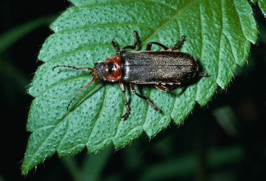 soldier beetle on leaf cantharis rustica  : Stock Photo