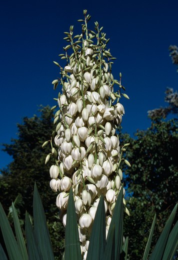 yucca in flower yucca sp. southern india : Stock Photo