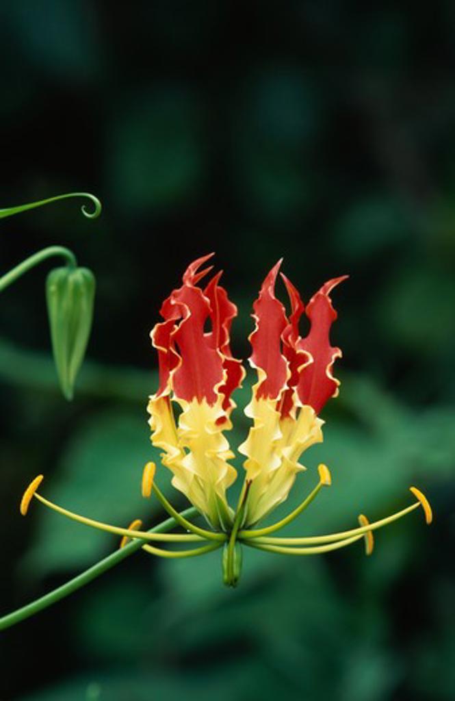 fire lily flower (wild) gloriosa superba karnataka, southern india : Stock Photo