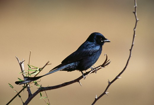 black drongo perched on branch dicrurus macrocercus karnataka, south india : Stock Photo