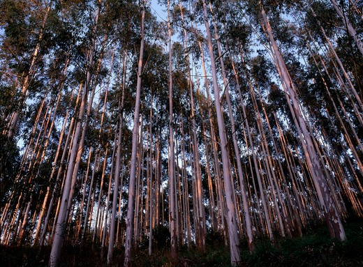 eucalyptus plantation non native species grown as a crop, mpumalanga, s africa.  : Stock Photo