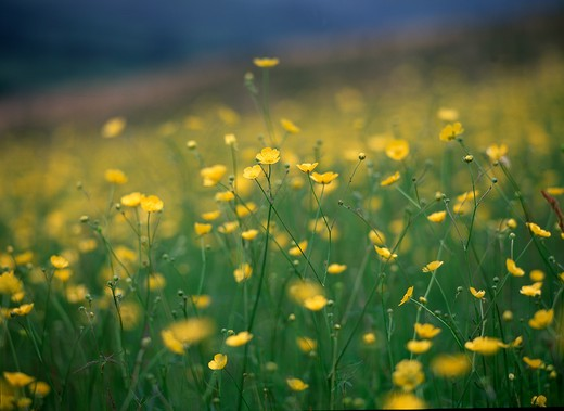 buttercup meadow ranunculus sp. mass of flowers. wales, uk.  : Stock Photo