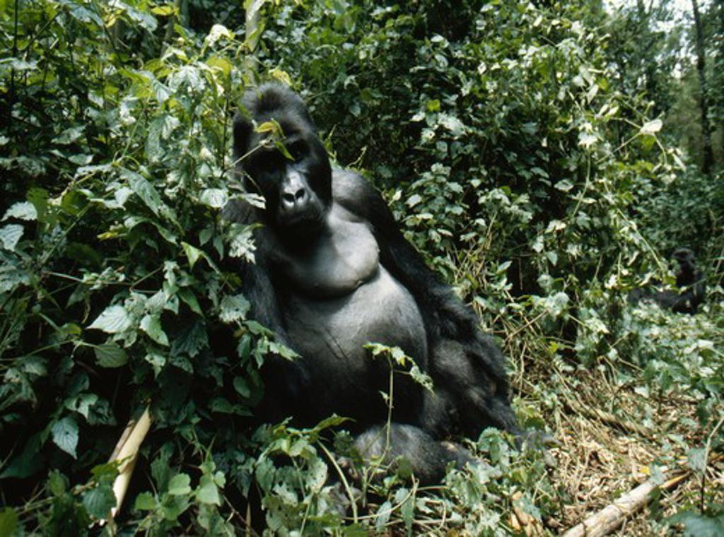 eastern lowland gorilla gorilla beringei graueri silverback resting. drc. : Stock Photo