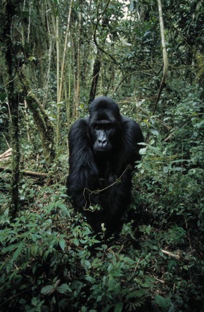 Stock Photo: 4141-25504 eastern lowland gorilla gorilla beringei graueri silverback. drc.