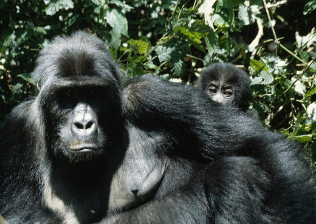 eastern lowland gorillas gorilla beringei graueri female & young. drc. : Stock Photo