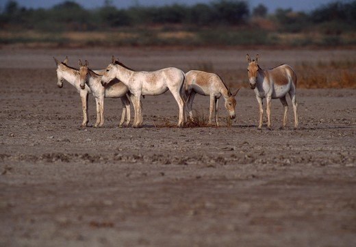 indian wild asses equus hemionus khur two females & young in desert area india : Stock Photo