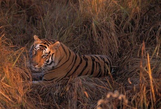 Stock Photo: 4141-25551 bengal tiger male panthera tigris tigris three-year-old, resting ranthambhore national park, rajasthan, india