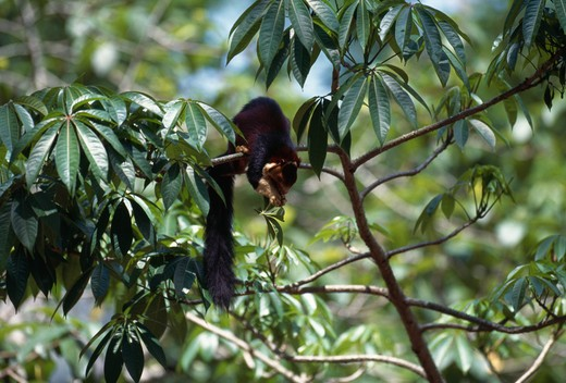 indian giant squirrel foraging ratufa indica in tree canopy for leaves india. vulnerable. : Stock Photo