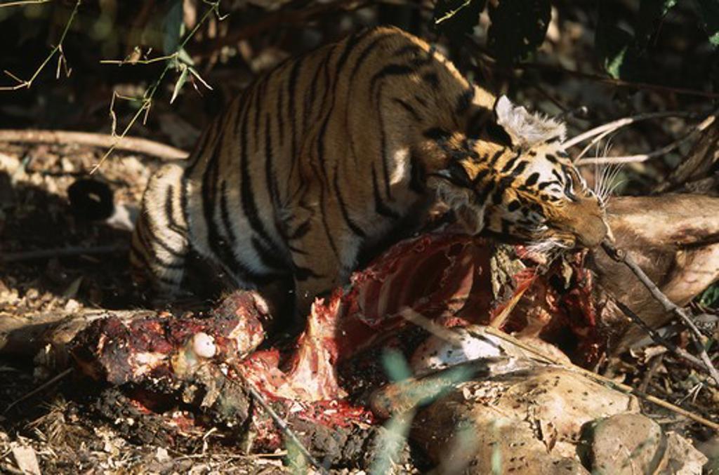 bengal tiger wild 10-month-old cub panthera tigris tigris (female) feeding on sambar deer india : Stock Photo